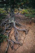 roots of a tree on a slope