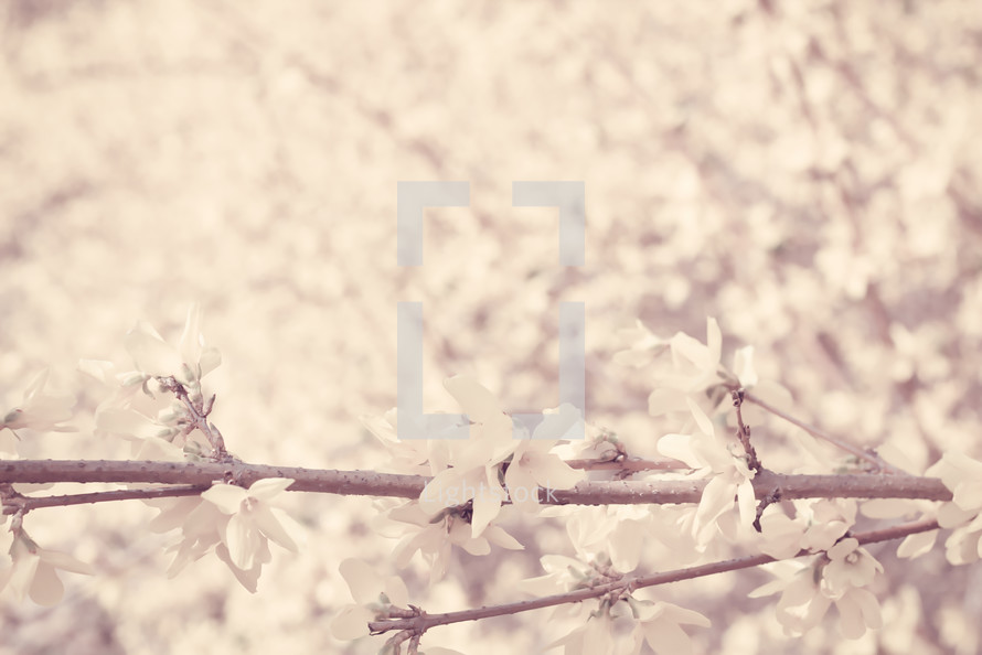 spring blossoms on a branch