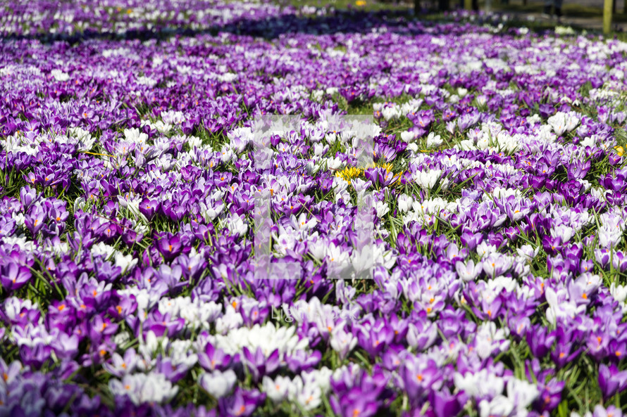 field of purple and white flowers