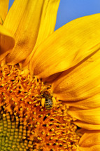 Macro shot of a bee on a sunflower