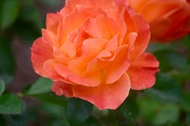 peach rose on a green nature background