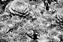 succulent plants garden background in black and white