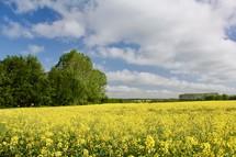 yellow flowers in a field