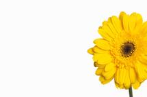 Yellow Gerber daisy.