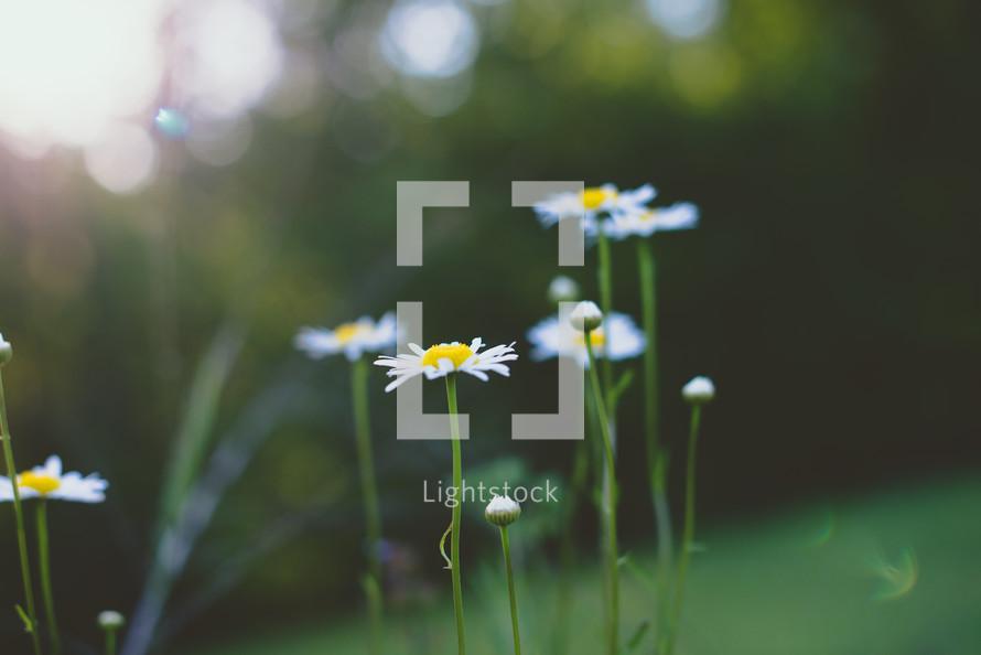 white summer daisies