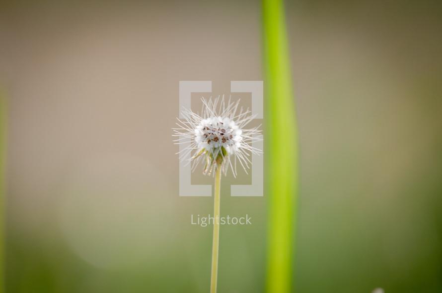bare dandelion