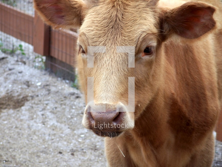 Cow portrait - an up-close portrait of a brown cow grazing and eating on a farm.