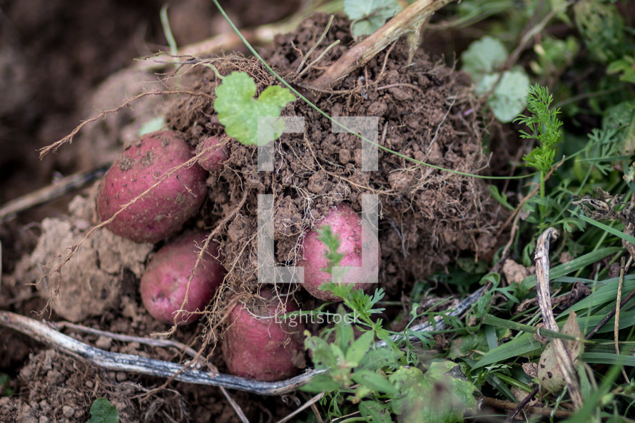 radishes in the soil