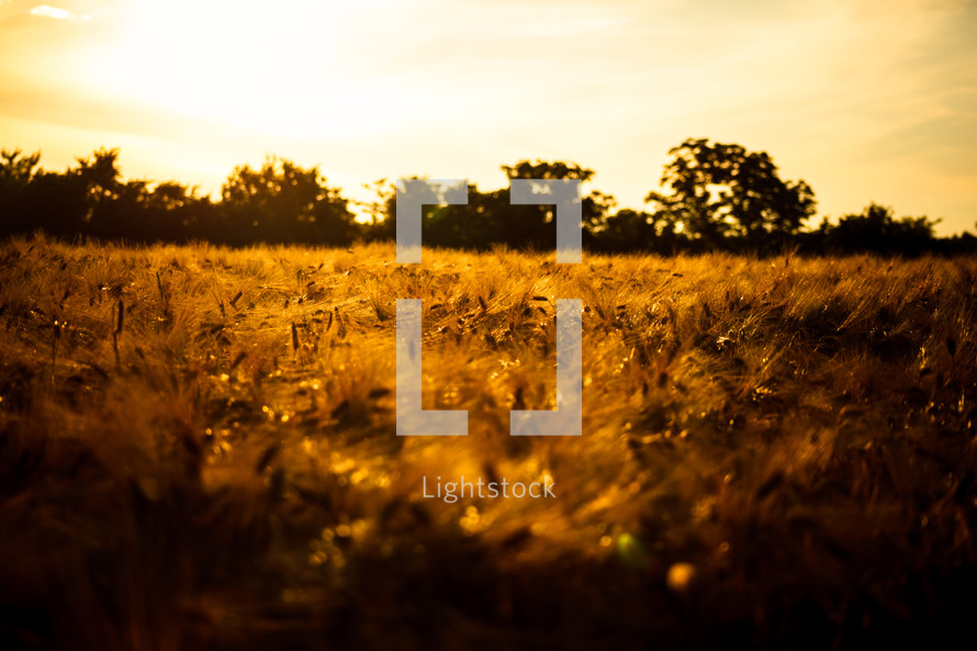 golden wheat in a wheat field at sunset