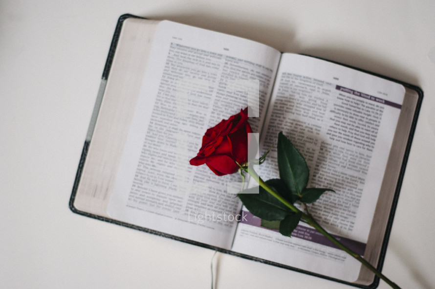 red long stem rose on the pages of a Bible