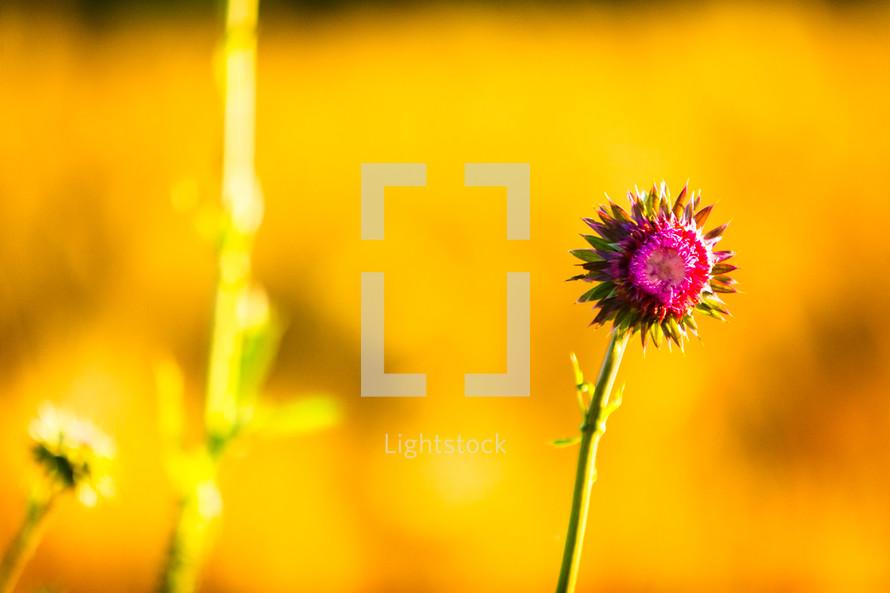 fuchsia wildflower in a wheat field