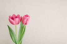 Two pink tulips on a white background.