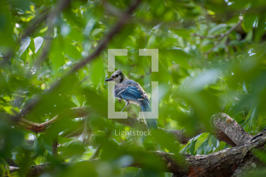 Blue jay perched on a tree branch.