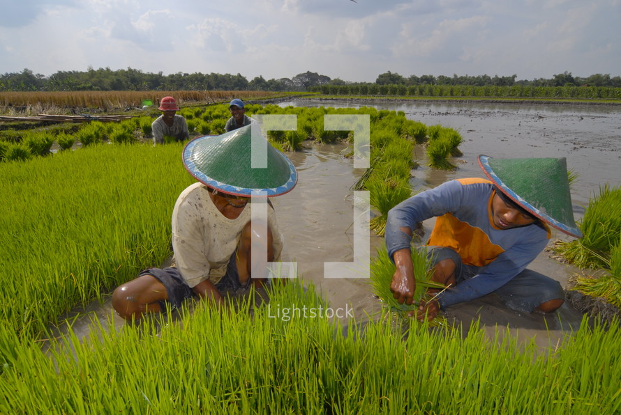 working in a rice field in Indonesia. Rice, harvest, food, seed, crop.