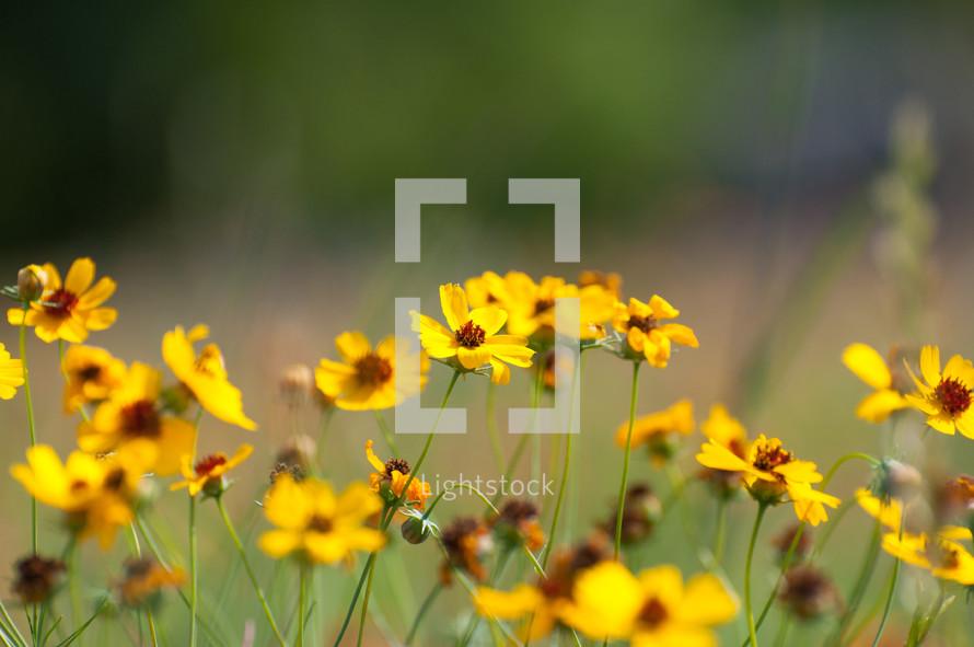 Yellow flowers in a field.
