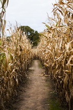 A path between dried stalks of corn.