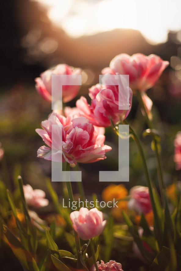 warm sunlight on pink flowers