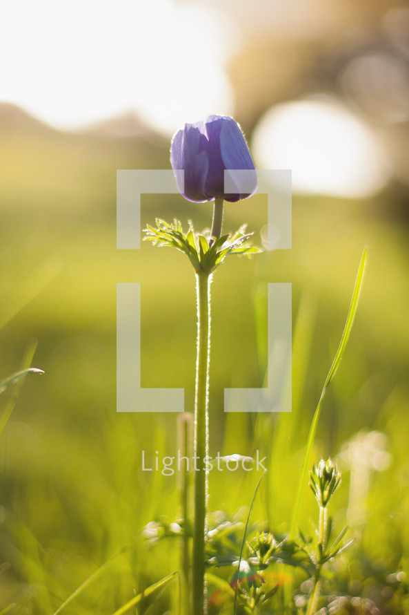 warm sunlight on purple spring flowers