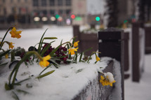 wilting tulips in snow