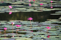 pond of water lilies