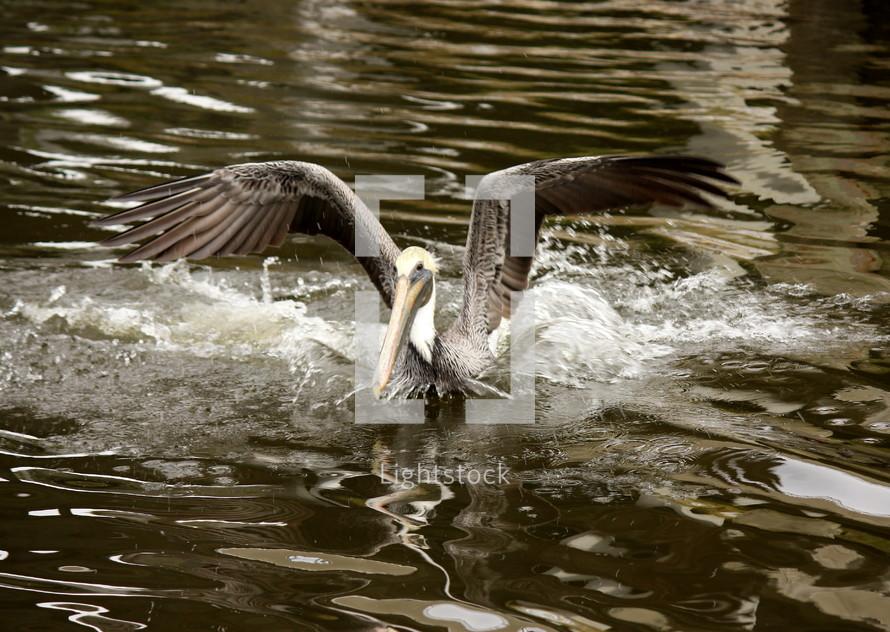 Pelican landing in water