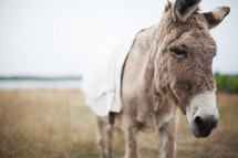 a donkey for Palm Sunday