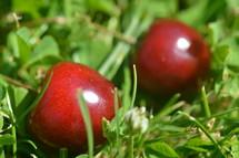Fresh cherries in the grass.