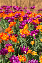 purple and orange flowers in a garden