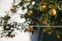 Clothes pin on line and lemon tree