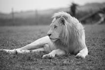 Sitting lion