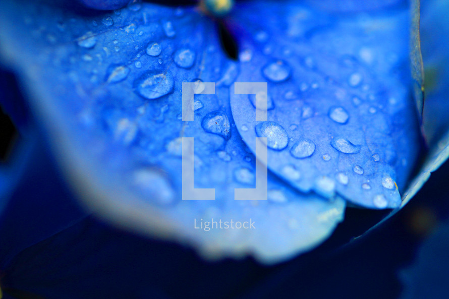 closeup of rain on a blue hydrangea