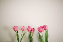 Pink tulips on a white background.