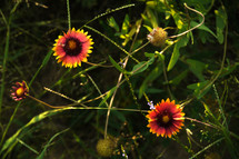 Field of Texas Firewheel flowers.