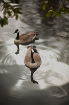 Canada Geese in a pond