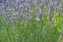 butterfly in a field of lavender
