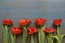 bright red tulips on a cyan wooden table in a row