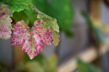 vine leaves with changing colors. 
