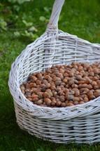 harvest of hazelnuts in white basket