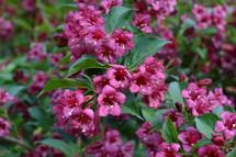 fuchsia flowers