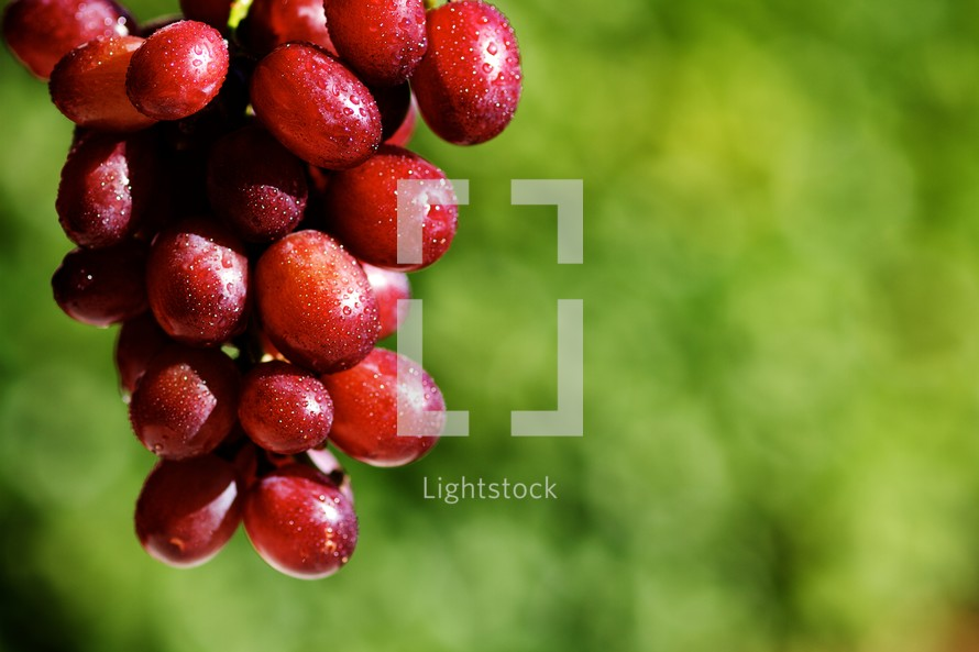 A grape vine with a cluster of red grapes