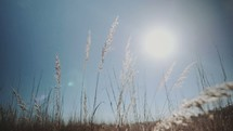 sunlight over tall brown grasses in a field