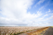 gravel road and cotton field