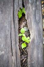 plants growing through a fallen log