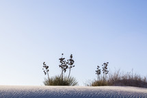 Yucca plants on a snow covered hill.
