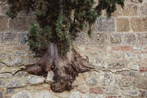 a tree rooted into a stone wall in Italy