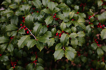red berries on a holy bush
