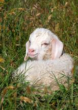 angora goat kid