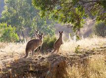 kangaroos at sunrise