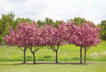 a row of beautiful blossoming trees in spring