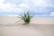 A clump of grass growing on a sandy beach.